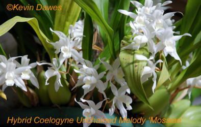Hybrid Coelogyne Unchained Melody 'Mossiae'